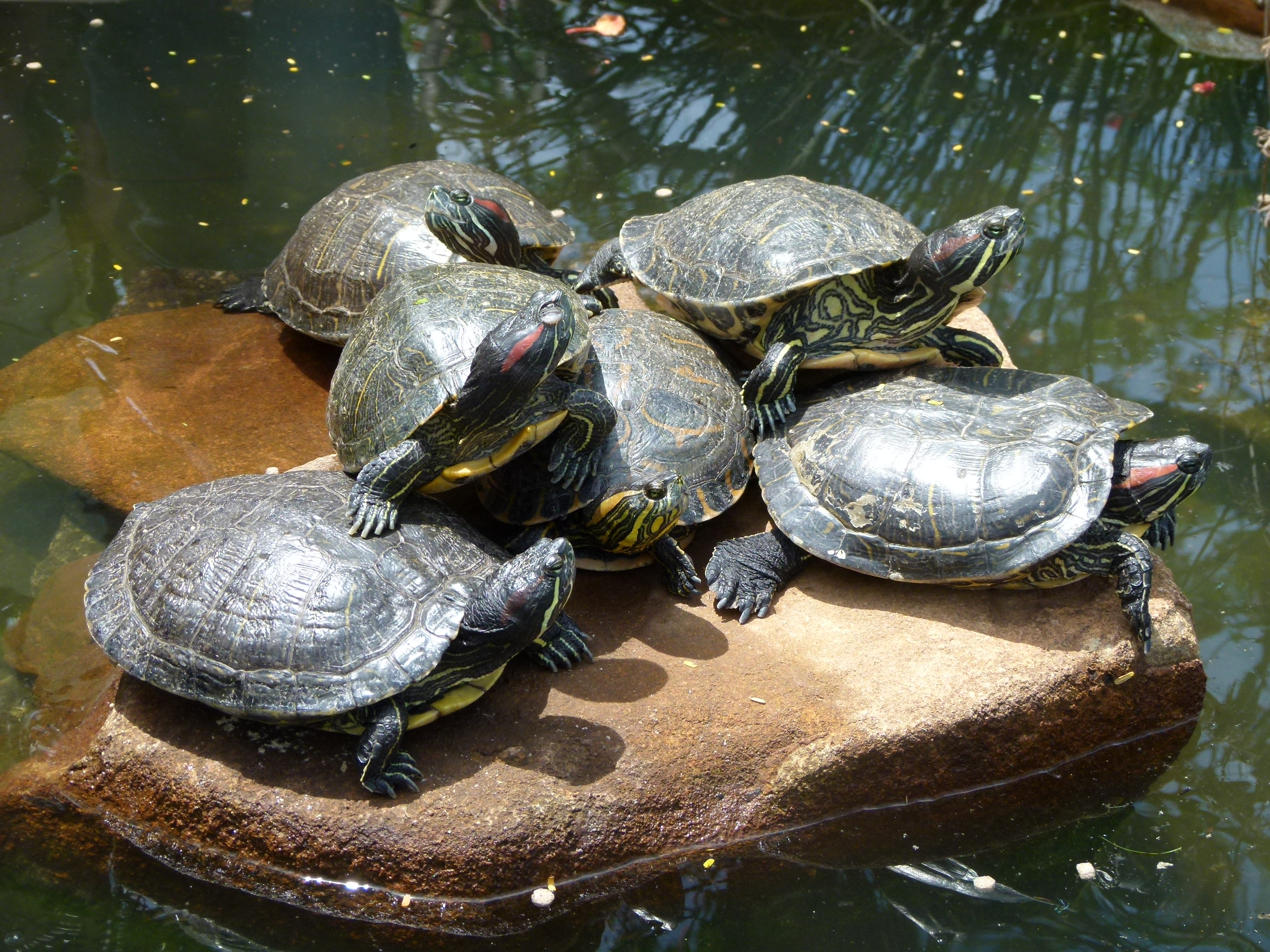 Turtles on a stone in Brazil; Image credit