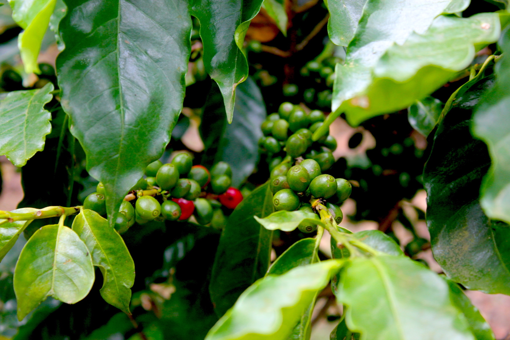 Coffee plantation at The Serai Chikmagalur